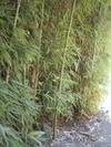 Paving_bambou_img_0764